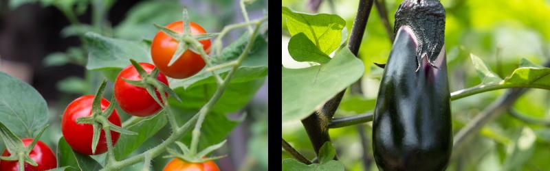 味里の秋野菜_トマト・なす